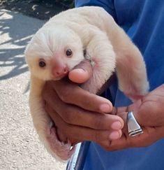 Pereza albina
