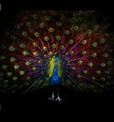 Peacock ♡. Looks kinda neon.