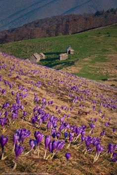 Carpathian Mountains - Ukraine field of crocuses, rich in saffron Beautiful World, Beautiful Places, Carpathian Mountains, Central And Eastern Europe, Amazing Destinations, Places To See, Cool Pictures, Travel Photography, Around The Worlds
