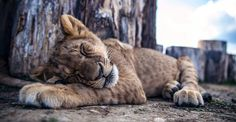 Úvod Holiday Destinations, Panther, Animals, Animales, Animaux, Panthers, Animal, Animais, Vacation Places