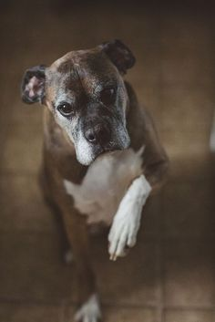 See our website for additional relevant information on Boxer Dogs. It is an exceptional area to find out more. Boxer Breed, Boxer Bulldog, Boxer Puppies, Dogs And Puppies, Doggies, Beautiful Dogs, Animals Beautiful, Cute Animals, Animals Dog
