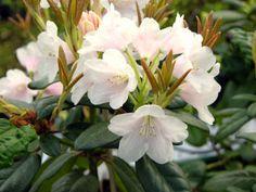 alppiruusu 'Kaino' varjossa viihtyvä keväällä kukkiva tuuhea ikivihreä pensas