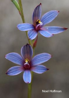 Blue Sun-orchid: Thelymitra canaliculata - Western Australian Native Orchid Study and Conservation Group Australian Wildflowers, Australian Native Flowers, Australian Plants, Wonderful Flowers, Beautiful Flowers, Ground Orchids, Native Tattoos, Ikebana Arrangements, Orchidaceae