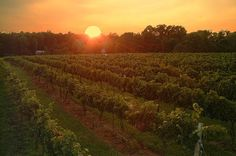 Vineyard Sunset
