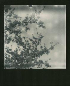 Sakura polaroids serie - Tokyo (c) Nobuyoshi Araki