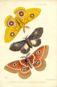 Tropical butterflies/moths - Africa - Saturnia hersilia, menippe and nenia