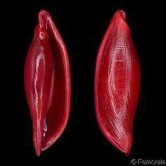 Simnialena uniplicata – Pin's Page Shell Game, Jewel Of The Seas, Coral, Seashell Art, Rocks And Minerals, Marine Life, Sea Creatures, Under The Sea, Sea Glass