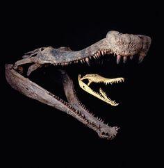 """Sarosuchus skull, next to a modern crocodile skull."