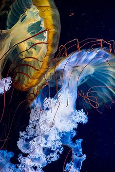 Beautiful and colorful jellyfish - underwater, under the sea, ocean photography (Photo by Janet Little Jeffers)