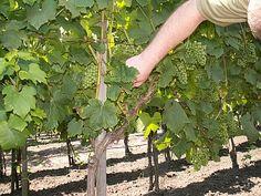 Vinná réva - pěstování Rv, Plants, Gardening, Motorhome, Lawn And Garden, Plant, Camper, Planets, Horticulture