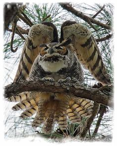 Owl plumage-  showing off to impress an enemy or courting a female owl