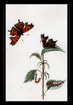 """Comma Butterfly"" {Papilio comma} by Katherine Plymley."