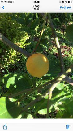Sitron , VIllefrance Apple, Fruit, Pictures, Apple Fruit, Apples