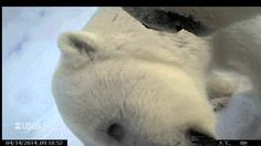 """The first """"point of view"""" video from a polar bear on Arctic sea ice has just become available courtesy of the U.S. Geological Survey. / CAUTION: contains seal death"""