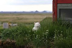 Have you ever met a more intelligent Icelandic cat?