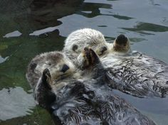 Otters - they sleep holding hands so they don't drift away from each other!
