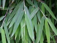 Bambus:Fargesia nitida 'Great Wall'