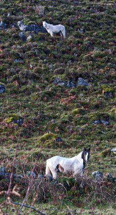 Ponies, the Burren Region of Ireland