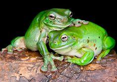 Foto de archivo titulado: Australian Green Tree Frog Litoria caerulea es una especie de rana de árbol nativo de Australia y Nueva Guinea, con poblaciones introducidas en Nueva Zelanda y los Estados Unidos. Populares como mascotas., Prohibido el uso sin licencia