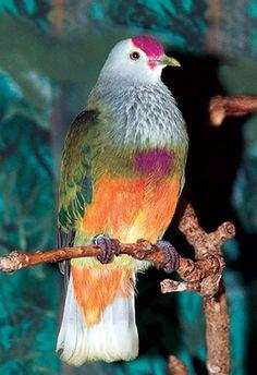 http://cdn.houstonzoo.org.s3.amazonaws.com/wp-content/uploads/2015/02/Marianas_Fruit_Dove-birds-card.jpg