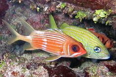 Longspine squirrelfish & French grunt, Grand Cayman | Flickr - Photo Sharing!