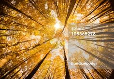 Stock Photo : Surrounded by Tall Trees, low angle shot - Autumn season