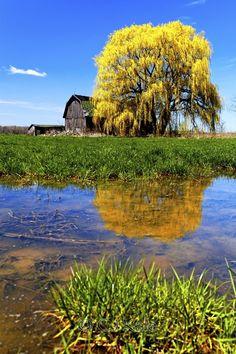 Barn & Willow Tree - Upstate New York