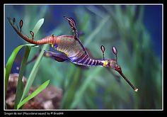 7 Seahorse Species From Under the Sea Underwater Creatures, Underwater Life, Ocean Creatures, Beneath The Sea, Under The Sea, Weedy Sea Dragon, Dragon Fish, Fauna Marina, Water Animals