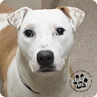 URGENT! I am at a full, kill shelter in Troy, Ohio.Troy, Ohio - Pit Bull Terrier. Meet Sable, a for adoption. https://www.adoptapet.com/pet/18072036-troy-ohio-pit-bull-terrier
