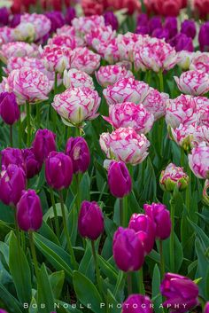 """Awesome """"flowers garden"""" detail is offered on our web pages. Read more and you will not be sorry you did. Tulips Garden, Tulips Flowers, All Flowers, Flowers Nature, Exotic Flowers, Daffodils, Spring Flowers, Planting Flowers, Purple Tulips"""