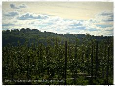 Apple Orchards, Blackmoor Estate, Hampshire Hangers
