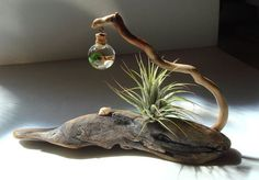 ZEN Driftwood Live Marimo Moss Ball Air Plant with Lucky by MyZen Air Ball is part of Driftwood diy - Driftwood Projects, Driftwood Art, Driftwood Planters, Diy Projects, Deco Floral, Arte Floral, Deco Nature, Beach Crafts, Diy Crafts
