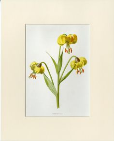 "Yellow Lily Matted Antique Flower Print C. 1890's Familiar Garden Flowers Gardening Floral Gift Idea 8x10"" by AntiquePrintBoutique on Etsy"