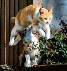 best adorable manx cat & kitten images ideas - most affectionate cat breeds Cute Cats And Kittens, I Love Cats, Crazy Cats, Cool Cats, Kittens Cutest, Animal Gato, Mundo Animal, Jumping Cat, Manx Cat