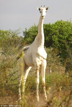 Incredible images have emerged showing a rare white giraffe with no markings on its body grazing with the rest of its herd in the African bush