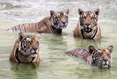 Tiger-Tempel: Nach anhaltender Kritik von Tierschützern soll sich Thailands berühmter Tiger-Tempel auf Anordnung der Behörden von seinen Raubtieren trennen. Die Mönche seien angewiesen worden, die 147 dort lebenden Tiger an Zoos oder Naturparks abzugeben, teilte die Naturschutzbehörde mit. Mehr Bilder des Tages auf: http://www.nachrichten.at/nachrichten/bilder_des_tages/ (Bild: EPA)