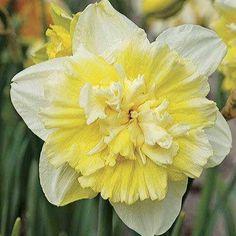 Ice King daffodil, double sport of Ice Follies