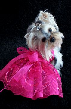 Adorable Little Yorkie Modeling Her New Hot Pink Fashion.
