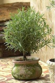 Make a Rosemary Topiary