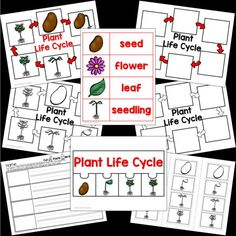 4 plant lifecycle sets. One for a bean plant, one for a Cherry Blossom Tree, One of a Cocoa Plant, and one for Rose plant. All the pages are very similar, but feature the plant types listed above. •Color rich life cycle chart •B/W life cycle chart Cherry Blossom Tree, Blossom Trees, Cocoa Plant, Kindergarten, Planting Roses, Rich Life, Cut And Paste, Common Core Standards, Types Of Plants