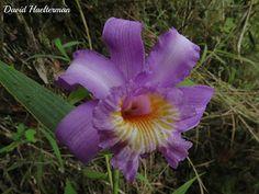 Sobralia violacea (distribución: desde Costa Rica hasta Venezuela y Bolivia) floreciendo  in situ, región andina, Venezuela