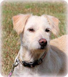 Glastonbury, CT - Border Collie/Shih Tzu Mix. Meet Shelby, a dog for adoption. http://www.adoptapet.com/pet/16687896-glastonbury-connecticut-border-collie-mix