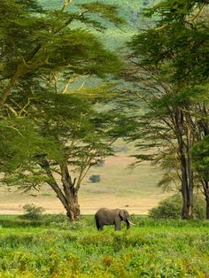 African Elephant in Ngorongoro Crater in Ngorongoro Conservation Area. Photographer: Blaine Harrington