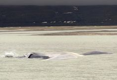"Beluga whale ""tail hug"" as an adult whale comforts a calf who becomes stranded at low tide. #Arctic #whales #research"