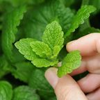 Dill, cilantro and mint, zinnias and cosmos, keep garden pests away Growing Mint, Growing Greens, Growing Herbs, Natural Home Remedies, Herbal Remedies, Fresco, Mint Herb, Mint Jelly, Apple Mint