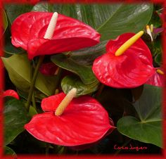 22 Mejores Imagenes De Flores Rojas Red Flowers Beautiful Flowers