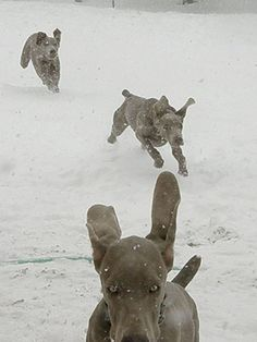 Weimaraners Playing in the Snow