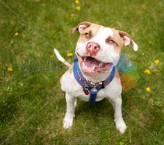 stock photo of pit bull dog looking up with grin