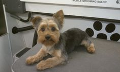 Yorkshire Grooming Styles | Club Doggie Mobile Grooming Salon - Before and After Photo Gallery