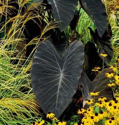 'Black Magic' elephant's ear (Colocasia esculenta 'Black Magic'). Growing from a tuber, this tropical-looking perennial marvel sprouts an army of arrowhead-shaped leaves up to three feet long that are the color of night. Try combining it with yellow or orange flowers or with finely textured plants, such as ornamental grasses. Because it tolerates wet soil, you can plant it at the edge of a pond or in a pot that lacks a drainage hole.
